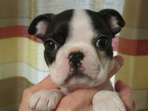 All White Boston Terrier Puppies Www Imgkid Com The