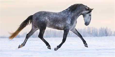andalusian facts horse wonderful amazing tweet