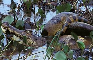 Green Anaconda (Eunectes murinus) ~ My Pet