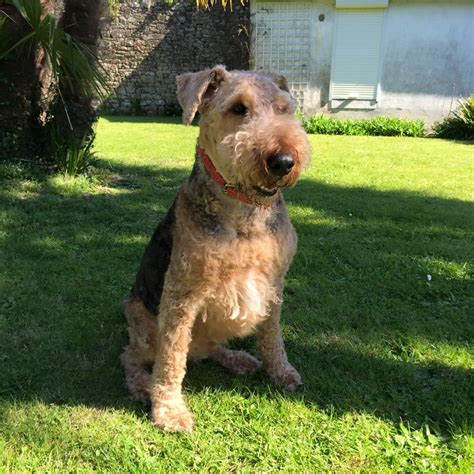 Azzaro Airedale Terrier Terrier Sos A Uk Based Dog Rescue
