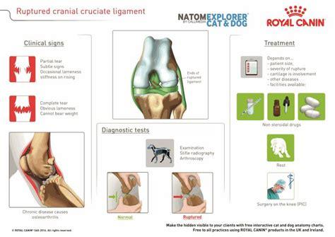 stifle cranial cruciate ligament disease  dogs