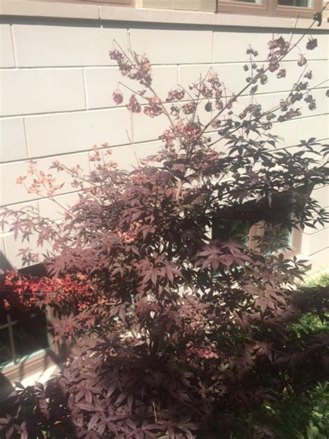 identification dying leaves  japanese maple water