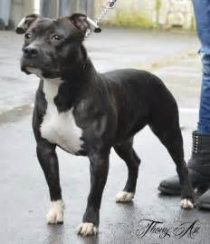 Black White American Staffordshire Terrier