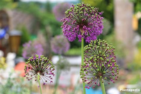 allium flower bulbs how to plant grow and for