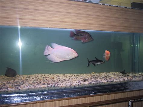 ornamental aquarium fish  sale  sale adoption
