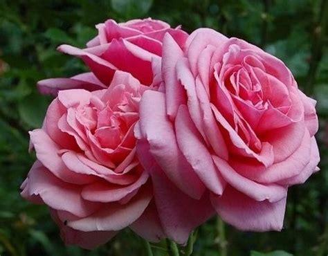 aloha  rose pink climber rose