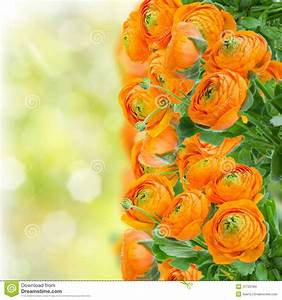 Orange ranunculus flowers stock photo. Image of background ...
