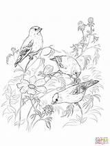 Coloring Goldfinch Pages American Loon Goldfinches Printable Drawing Drawings Print Getcolorings Paper Crafts Colori sketch template
