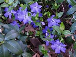 Bodendecker Blaue Blüten : vinca major mit gro en blauen bl ten garten u dorf pinterest bodendecker schatten und ~ Frokenaadalensverden.com Haus und Dekorationen