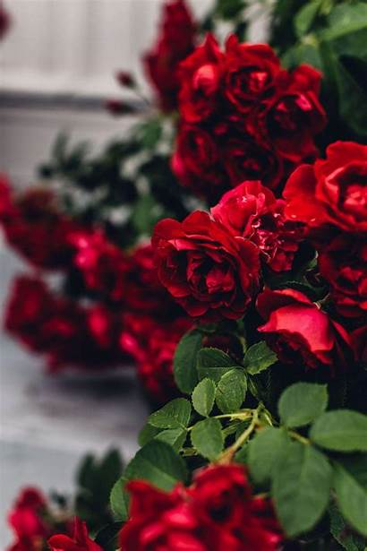 Aesthetic Roses Rose Flower Wallpapers Flowers Backgrounds
