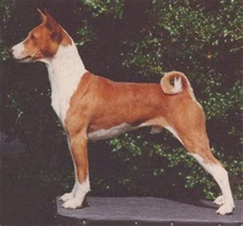 everything about your basenji luv my dogs
