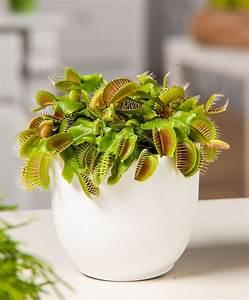 Plante Repulsif Mouche : attrape mouches plante carnivore plantes bakker france en pot fleurs plantes ~ Melissatoandfro.com Idées de Décoration