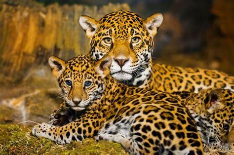 Jaguar Spirit Animal - Spirit Animal Info