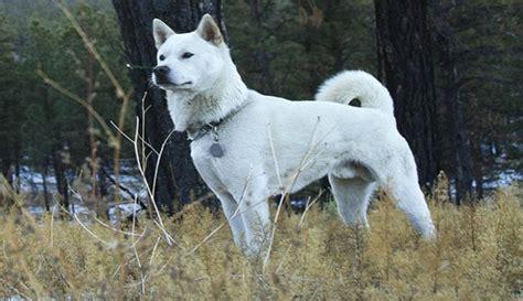 kishu anjing ras asli jepang  terancam punah