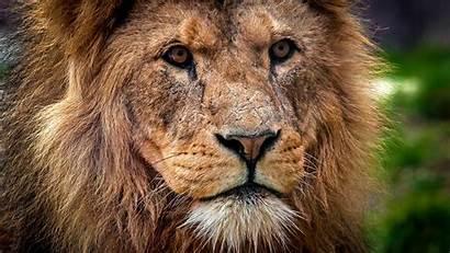 Lion King 4k Narnia Aslan Wallpapers Muzzle