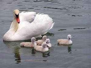 1000+ images about Swans on Pinterest | Mute swan, Black ...