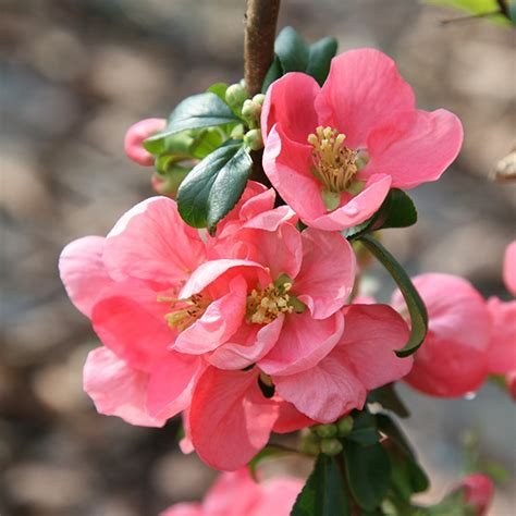 flowering quince buy flowering quince chaenomeles 215 superba pink lady delivery by crocus