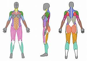 Female Muscle Anatomy  Front  Side And Back  By Artistsaif