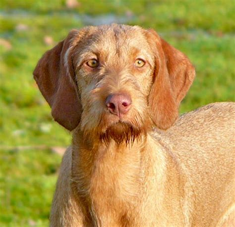 Do Wirehaired Vizslas Shed by Wirehaired Vizsla Happy In Hungary