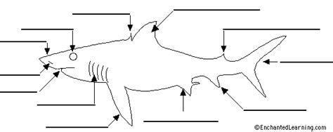 label shark anatomy printout enchantedlearning