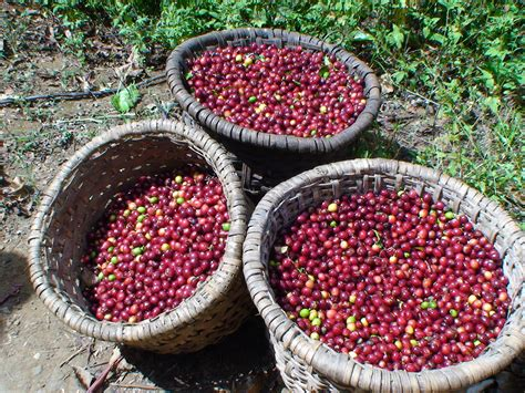 You can buy green coffee beans online, also available in capsules and powder form, by choosing from a wide range of authentic brands promising. Indian coffee beans │ India Plantation │Terra Coffee ...