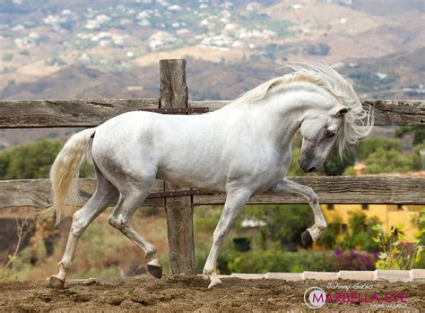 horse andalusian horses pretty 500px andalucian draft gates johnny