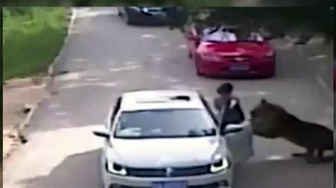 shocking video shows tiger grab woman  park