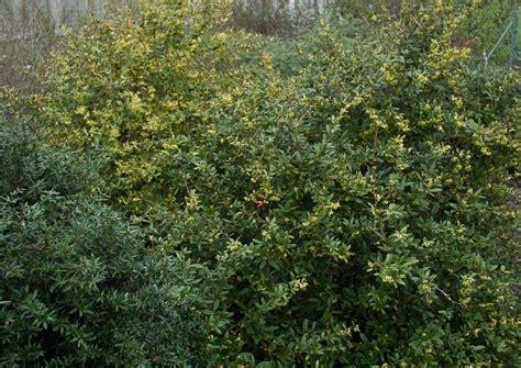 Berberis Hookeri Himalayaberberitze Immergrün