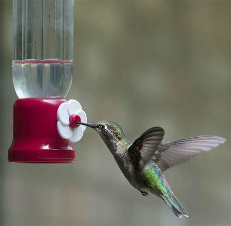 attract hummingbirds   garden   easy steps