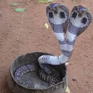 King Cobra on Pinterest | Cobra Snake, Corn Snake and ...