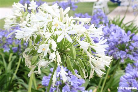care of agapanthus agapanthus care after flowering thin blog