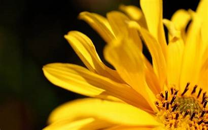 Yellow Flower Flowers Wallpapers Petals Lily Petal