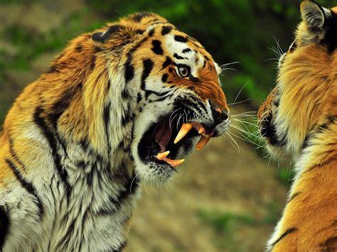 papeterie de bureau tigres rugissant animaux sauvages papier peint de bureau