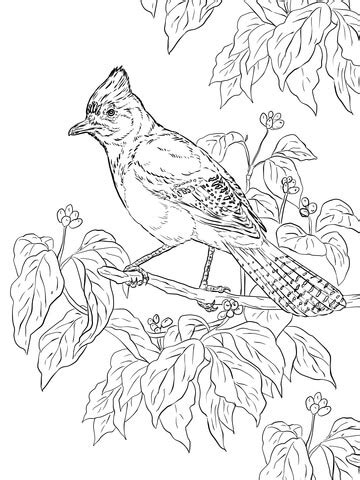 realistic stellers jay coloring page  printable coloring pages