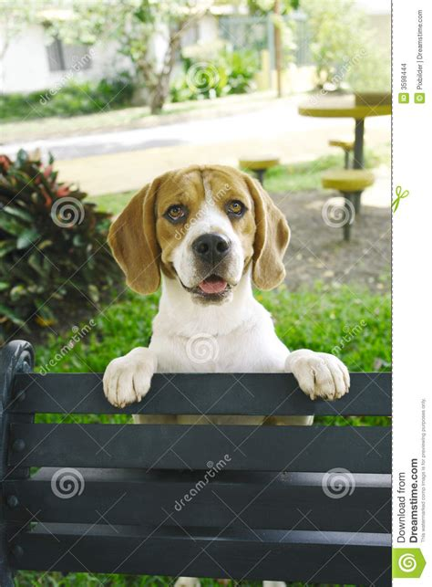 Bench Beagle by Beagle Bench Stock Images Image 3598444