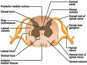 Ch 12 Gross Anatomy Of The Spinal Cord
