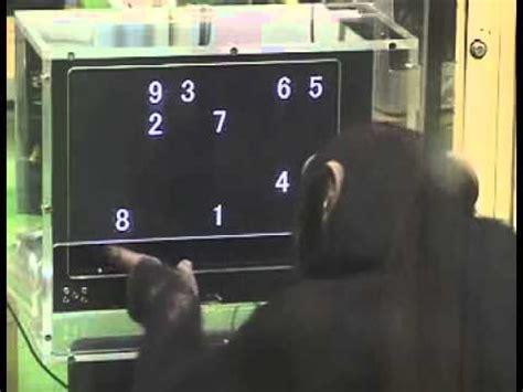 media slap chimp solves puzzle faster   humans