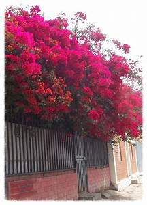305 best images about Begonvil on Pinterest   Trees ...