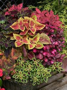 Fall Coleus Containers