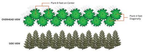 leyland cypress  tree center