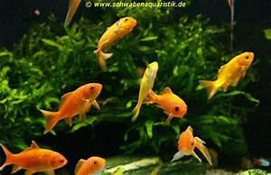 Goldfische Im Teich : goldfische im teich goldfische im gartenteich with goldfische im teich with goldfische im teich ~ Eleganceandgraceweddings.com Haus und Dekorationen