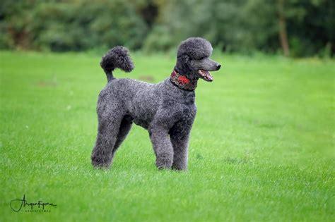 blue standard poodle stud argentcymru standard poodles