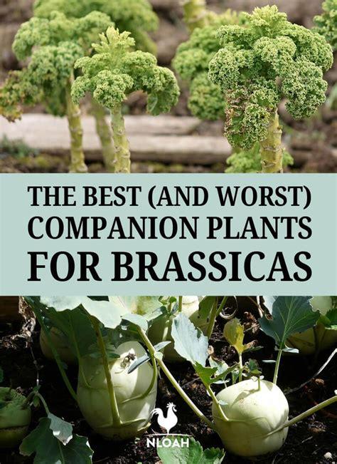 worst companion plants  brassicas