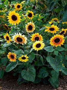 Sunflowers Will Grow Best In Locations With Full Sun On