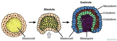 Gastrulation Germ Layer Definition And Formation In Humans