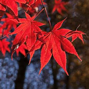 Roter Japanischer Ahorn : roter japanischer ahorn roter japanischer ahorn jung und alt stock photo 590627596 acer ~ Frokenaadalensverden.com Haus und Dekorationen
