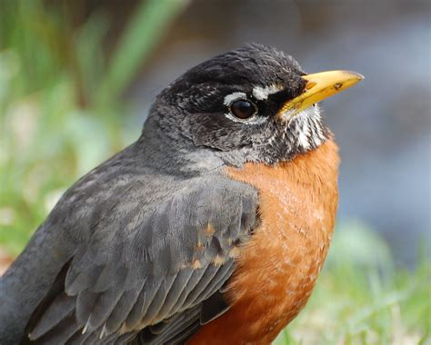 urban wildlife guide the american robin returns or