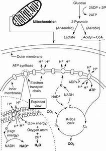 Introduction To Cellular Respiration And Great Notes And