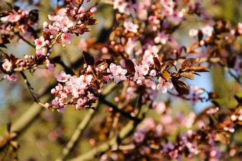 Detail Of Pink Flowering Japanese Cherry Tree Stock Image