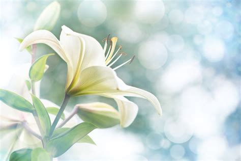 Fleur De Lys  Signification Des Fleurs